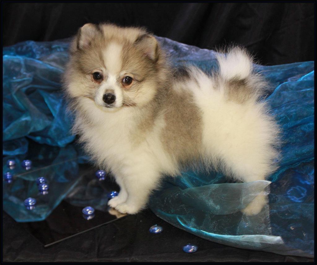 Pomeranianwelpen gescheckt,blauschwarz