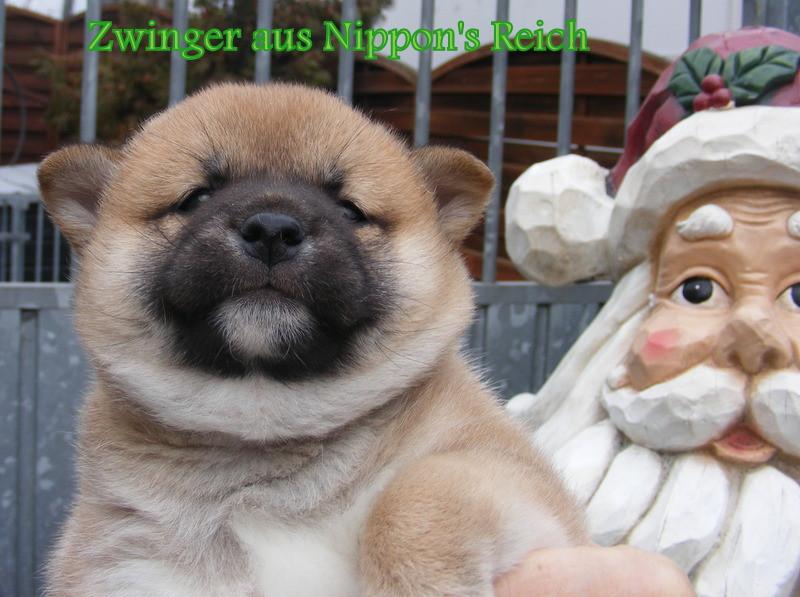 Japanische Hunde aus Sachsen